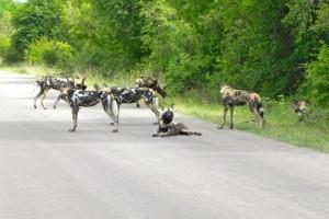 15Wildhundefamilie,Krüger