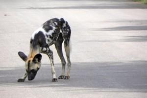 16Wildhund,Krüger
