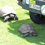 32Schildkröten,Karoo