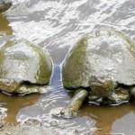 3Schildkröten,Krüger