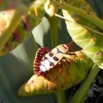 10Welwitschia-Käfer