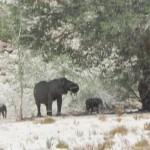 27Wüstenelefanten