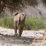 30Wüstenelefant
