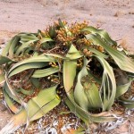 38Welwitschia