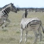 4streitende Zebras