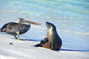 12 Pelikan und Seelöwe