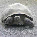 25 Riesenschildkröte