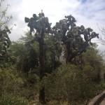 6 Kakteenbaum