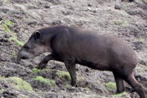 14 Tapir