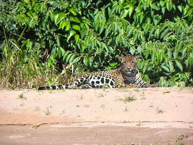 25 Jaguar