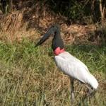 28 Jabiru-Storch