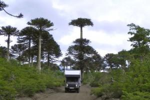 18durch Araukarienwald