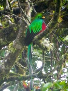 Quetzalvogel in den Bergen