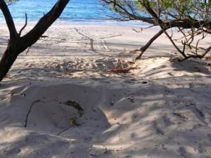 Schildkrötennester und -Spuren