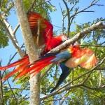 Aras in den Bäumen