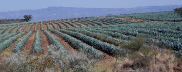 Agavenplantage