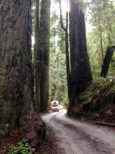 noch mehr Redwoods