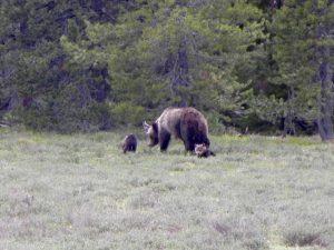 Grizzlymama mit Jungen